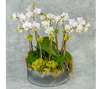 White Mini Phalaenopsis Garden in Great Neck NY, United Floral