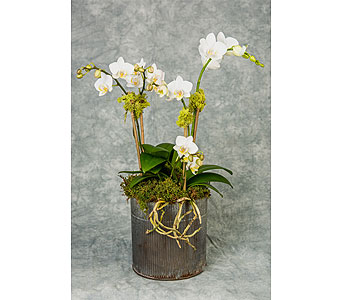Triple White Mini Phalaenopsis in Great Neck NY, United Floral