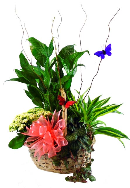 European Garden Plant Basket in Omaha NE, Piccolo's Florist and Gifts