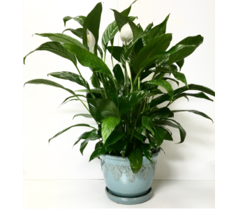 Blue Ceramic with Peace Lily Plant in Wyoming MI, Wyoming Stuyvesant Floral