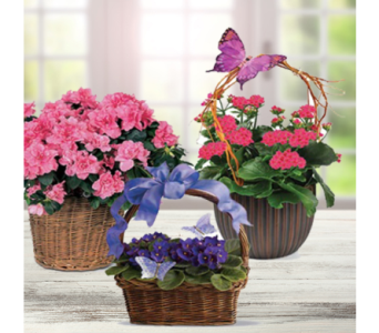 Nicest Spring Blooming Plants in Indianapolis IN, George Thomas Florist