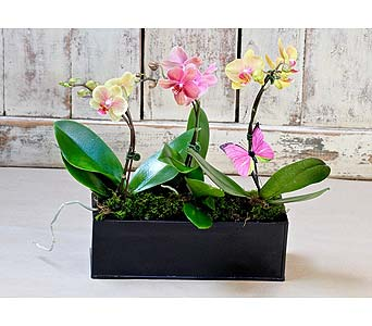 Orchid Trio in Kingston ON, Pam's Flower Garden