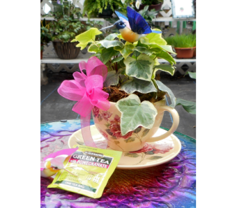 Teacup with Ivy in Skowhegan ME, Boynton's Greenhouses, Inc.