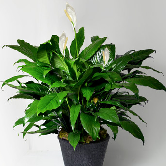 Harmony - Deluxe Peace Lily in Dallas TX, Dr Delphinium Designs & Events