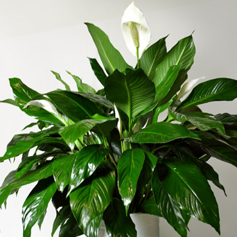 Swan - Luxurious Peace Lily in Dallas TX, Dr Delphinium Designs & Events