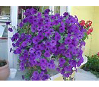 Purple Petunia Hanger  in Madison ME, Country Greenery Florist & Formal Wear