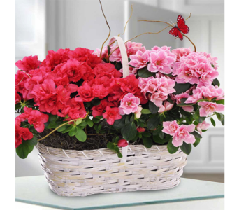 Double Azalea Basket in Indianapolis IN, George Thomas Florist