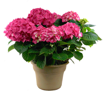 Jumbo Hydrangea Plant in Indianapolis IN, Steve's Flowers and Gifts