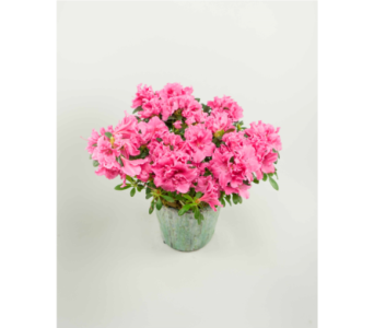 Azalea Plant in Little Rock AR, Tipton & Hurst, Inc.