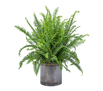 Fern in South Hadley MA, Carey's Flowers, Inc.