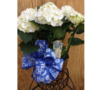 Hydrangea  in Wake Forest NC, Wake Forest Florist