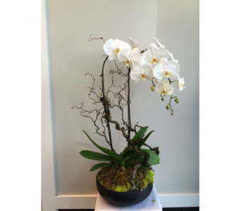 Phalaenopsis Beauty in Victoria BC, Fine Floral Designs