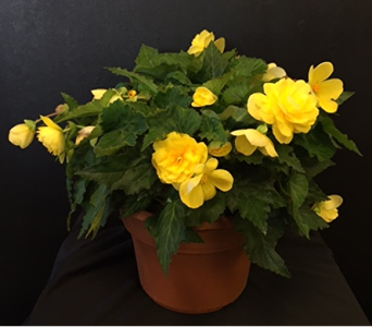 Yellow Tuberose Begonia in Newton KS, Designs By John Flowers & Tuxedos, Inc