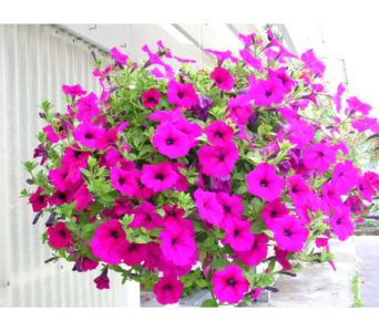 Hanging Wave Petunia in Waverly NY, Jayne's Flower Shop