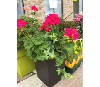 Potted Outdoor Geranium in Toronto ON, Simply Flowers