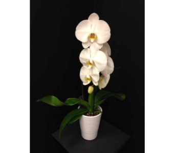 Cascading Orchid in Georgetown ON, Vanderburgh Flowers, Ltd