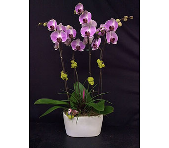 Lavender Phalaenopsis Orchid in Oakland CA, J. Miller Flowers and Gifts