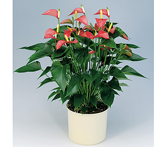 Anthurium in Durham NC, Flowers By Gary