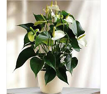 White Anthurium Plant in Clearwater FL, Hassell Florist