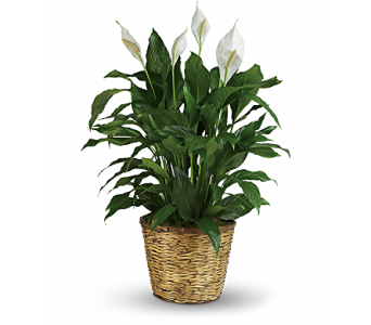 Peace Lily - Large in Springfield OH, Schneider's Florist