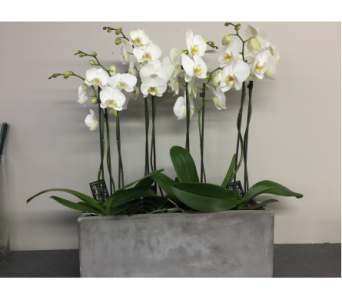 Orchids in Concrete Planter in Bowmanville ON, Van Belle Floral Shoppes