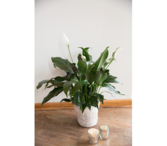 Peace Lily in Menomonee Falls WI, Bank of Flowers