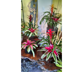 Bromeliad GardensStarting at $40 in Largo FL, Rose Garden Flowers & Gifts, Inc