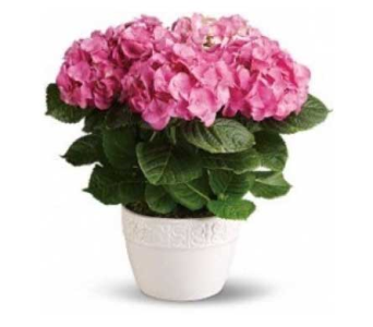 Potted Pink Hydrangea Plant in Bellevue WA, CITY FLOWERS, INC.