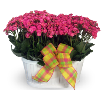 Double Kalanchoe Basket in Indianapolis IN, 317 Flowers