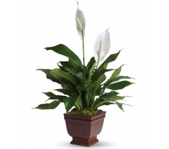 Lovely One Spathiphyllum Plant in Norristown PA, Plaza Flowers