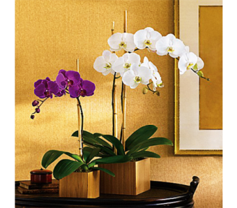 Imperial Orchid Plant in Indianapolis IN, George Thomas Florist