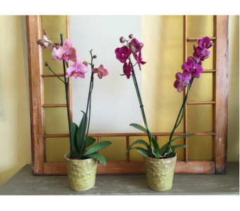 Orchids in Ceramic Pot in Ashburn VA, Lavender Fields