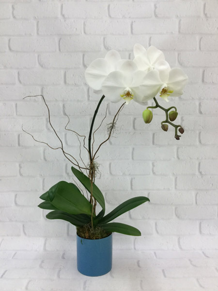 White Orchid in Denver CO, Lehrer's Flowers