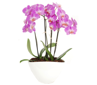 Phalaenopsis Orchid Plant in Madison WI, Felly's Flowers