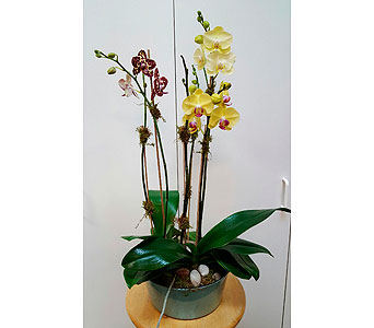 Regal Orchids in Tampa FL, Buds Blooms & Beyond