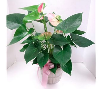 Anthurium Plant in Timmins ON, Timmins Flower Shop Inc.