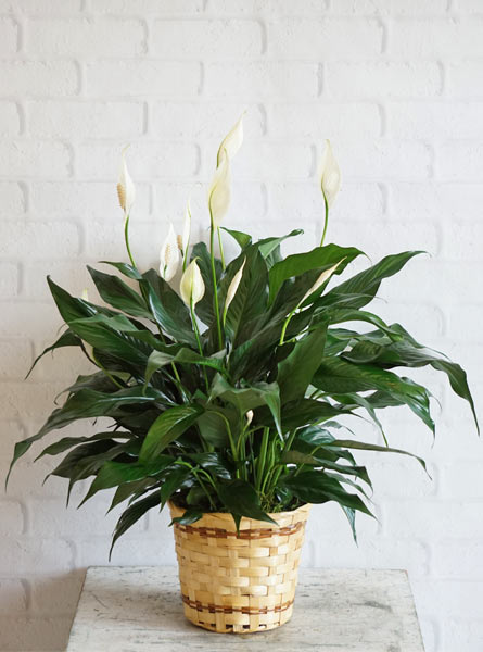 Small Elegant Spathiphyllum in Raleigh NC, Fallon's Flowers