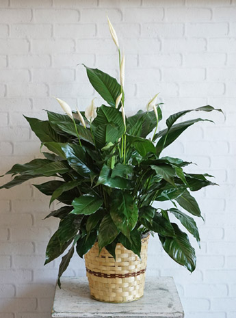 Medium Elegant Spathiphyllum in Raleigh NC, Fallons Creative Flowers