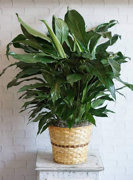 Large Elegant Spathiphyllum in Raleigh NC, Fallon's Flowers