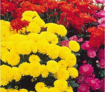 Mum Plant-3 sizes available-color/bloom stage vary in Wyoming MI, Wyoming Stuyvesant Floral