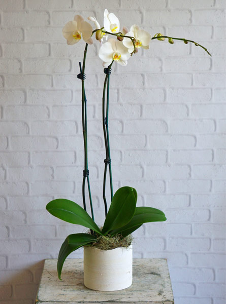 White Orchid in Raleigh NC, Fallons Creative Flowers