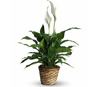 Simply Elegant Peace Lily - Small in McLean VA, MyFlorist