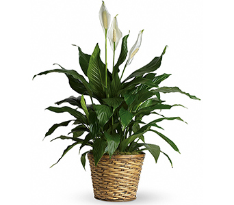 Simply Elegant Peace Lily - Medium in McLean VA, MyFlorist