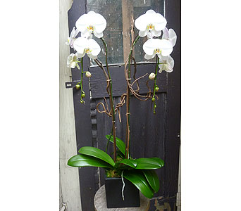 Double White Phalaenopsis Orchid Plant in West Los Angeles CA, Westwood Flower Garden