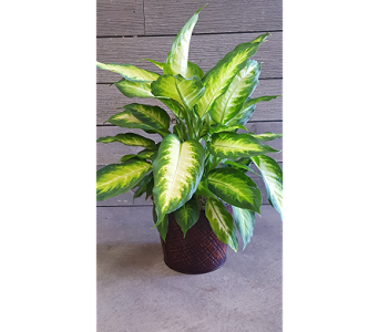 Dashing Dieffenbachia in Frisco TX, Patti Ann's Flowers