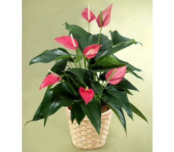 Anthurium Basket  in Campbell CA, Citti's Florists