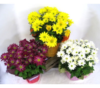 Chrysanthemums in Innisfil ON, Lavender Floral