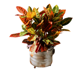 Stately Croton in Detroit and St. Clair Shores MI, Conner Park Florist
