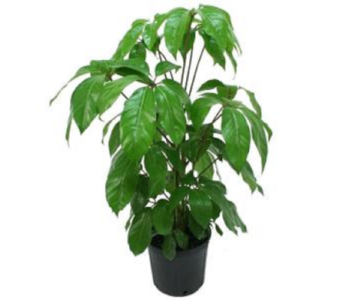 Schefflera Plant in Princeton, Plainsboro, & Trenton NJ, Monday Morning Flower and Balloon Co.