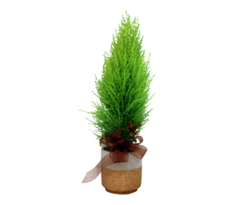 Lemon Cypress  in Detroit and St. Clair Shores MI, Conner Park Florist